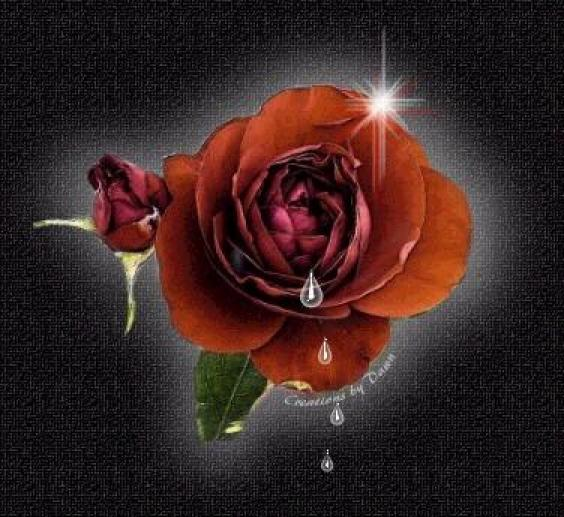 pics photos black rose wallpapers love rose wallpapers